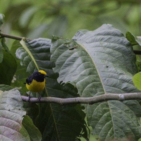Euphonia, Oiseau, xanthogaster-2