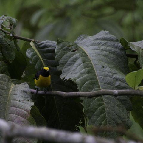Euphonia, Oiseau, xanthogaster