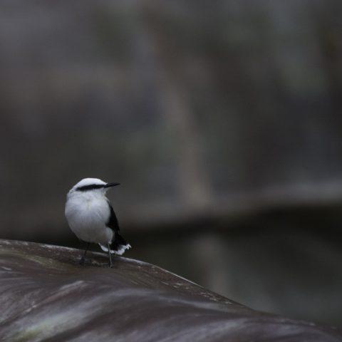 Fluvicola, nengeta, Oiseau