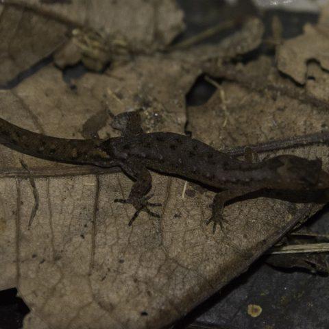 Lepidoblepharis, Reptile-2