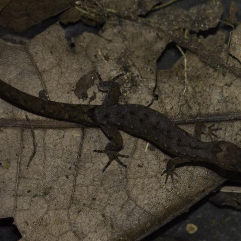 Lepidoblepharis, Reptile