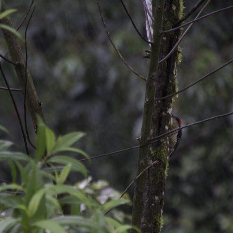 Melanerpes, Oiseau, pucheran-3