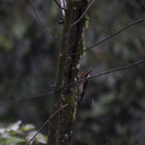 Melanerpes, Oiseau, pucheran-5