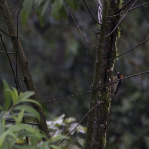 Melanerpes, Oiseau, pucheran-6