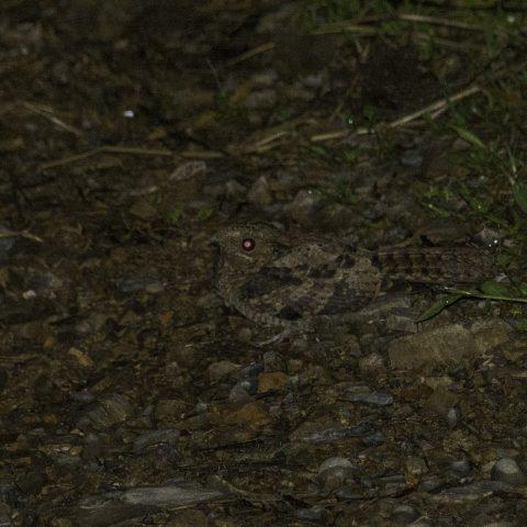 albicollis, Nyctidromus, Oiseau