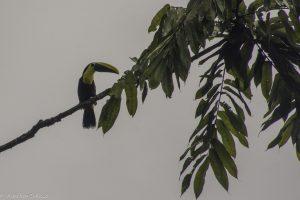 ambiguus, Oiseau, Ramphastos