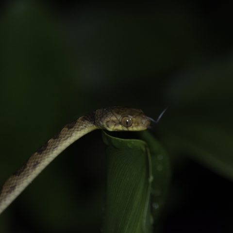 andiana, Dipsas, Reptile-5