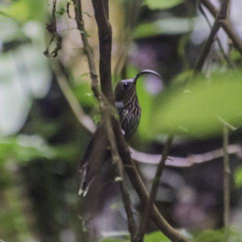 aquila, Colibri, Eutoxeres, Oiseau