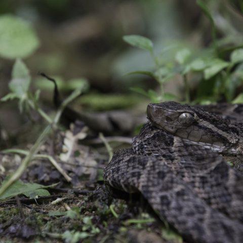 asper, Bothrops, Reptile