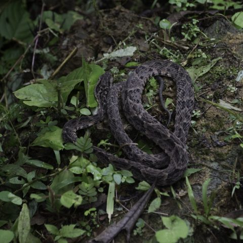 asper, Bothrops, Reptile-11