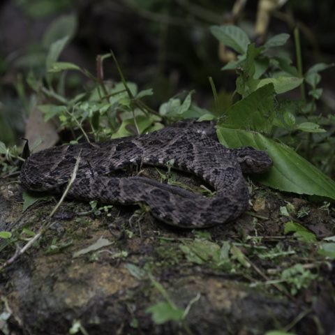 asper, Bothrops, Reptile-12