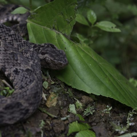 asper, Bothrops, Reptile-14