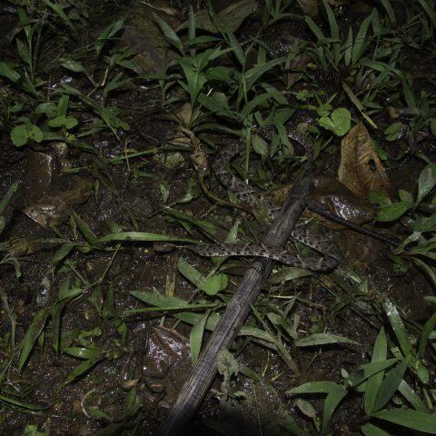asper, Bothrops, Reptile-3