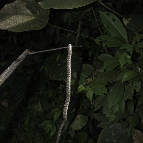 asper, Bothrops, Reptile-5
