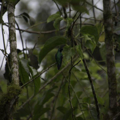 aurita, Colibri, Heliothryx, Oiseau-2