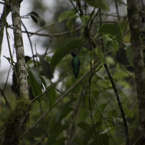 aurita, Colibri, Heliothryx, Oiseau-3