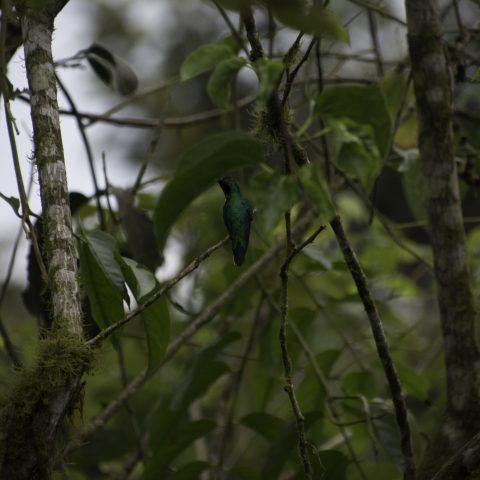 aurita, Colibri, Heliothryx, Oiseau-4