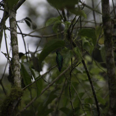 aurita, Colibri, Heliothryx, Oiseau