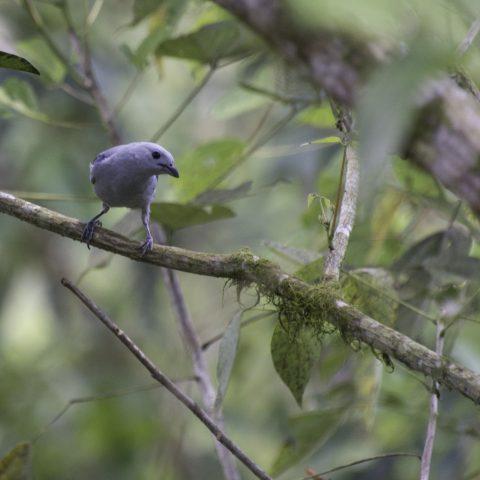 azulera, Oiseau, Tangara-2
