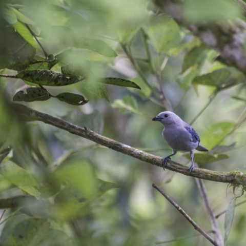 azulera, Oiseau, Tangara-3