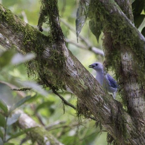azulera, Oiseau, Tangara