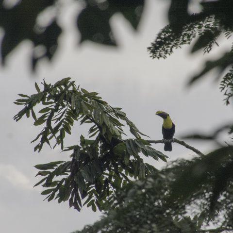 brevis, Oiseau, Ramphastos