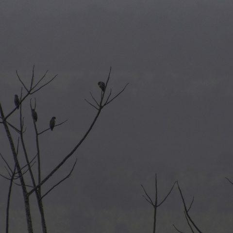 chalcopterus, Oiseau, Pionus-2