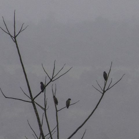 chalcopterus, Oiseau, Pionus-3