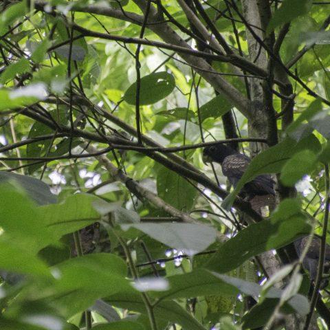 chalcopterus, Oiseau, Pionus-4