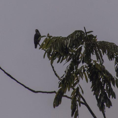 chalcopterus, Oiseau, Pionus