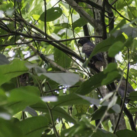 chalcopterus, Oiseau, Pionus-5