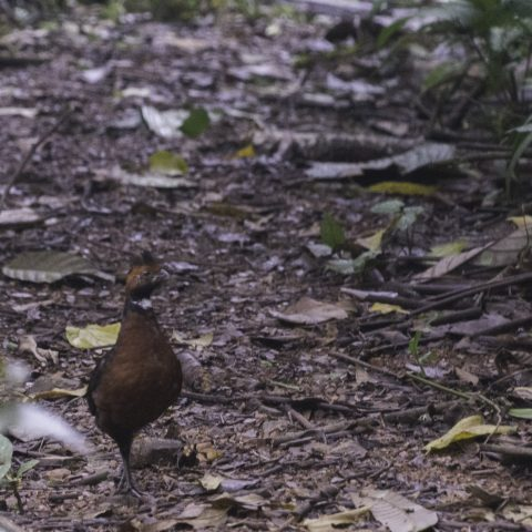 erythrops, Odontophorus, Oiseau