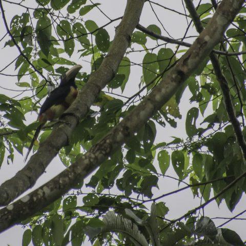 erythropygius, Oiseau, Pteroglossus-2
