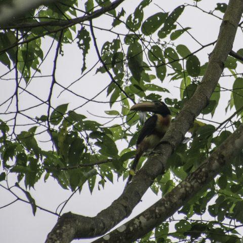 erythropygius, Oiseau, Pteroglossus-3