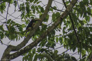 erythropygius, Oiseau, Pteroglossus
