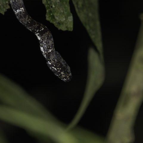 nebulatus, Reptile, Sibon-4