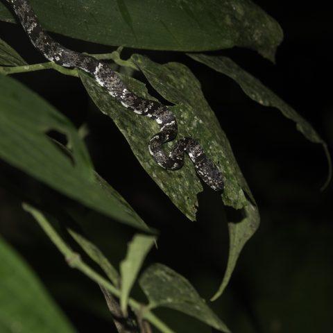 nebulatus, Reptile, Sibon-9