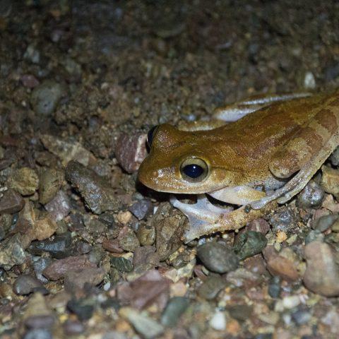 Amphibien, Craugastor, fitzingeri-3