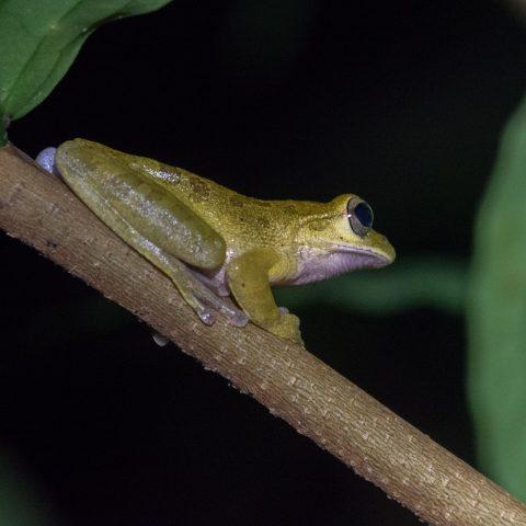 Amphibien, Craugastor, fitzingeri