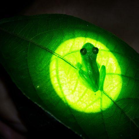 Amphibien, fleischmanni, Hyalinobatrachium-3
