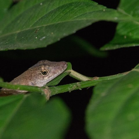 Anolis, Reptile