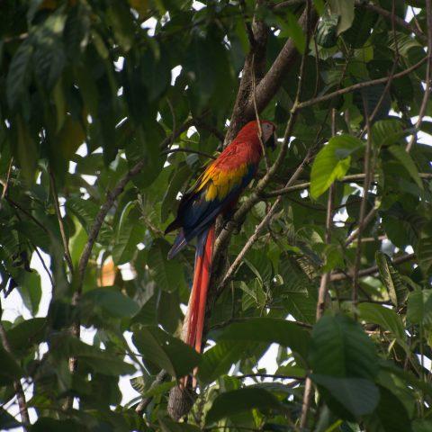 Ara, macao, Oiseau-3