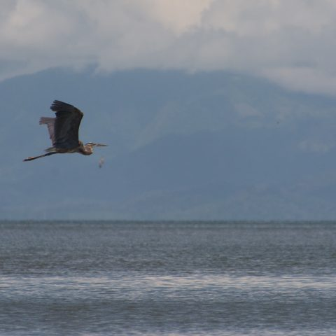 Ardea, herodias, Oiseau-2
