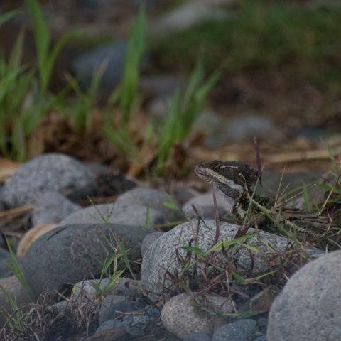 Basiliscus, Reptile