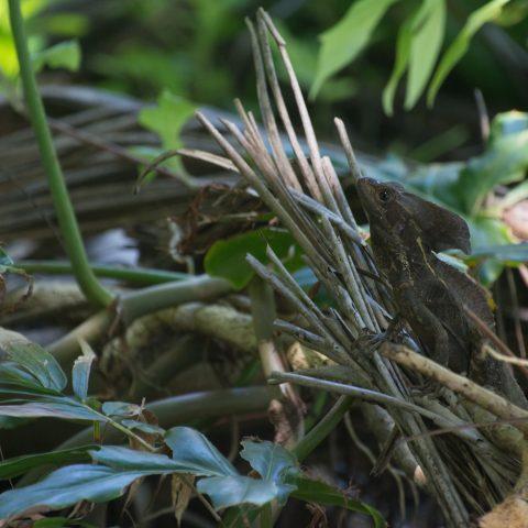 Basiliscus, Reptile, vittatus-3