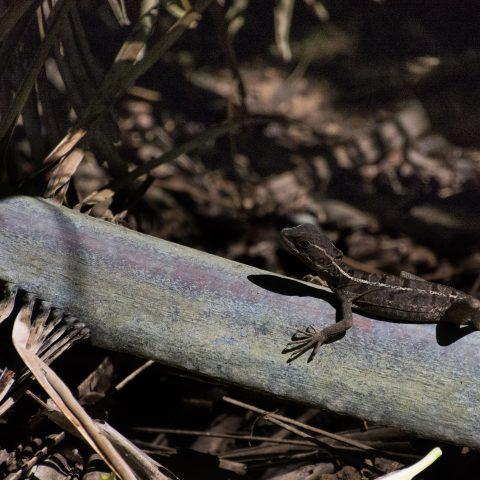 Basiliscus, Reptile, vittatus