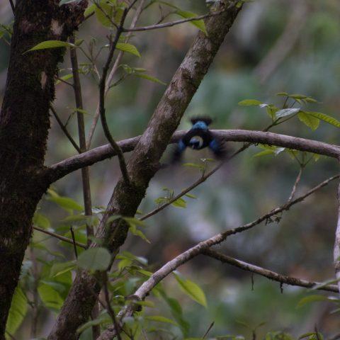 Dacnis, Oiseau-2