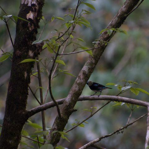 Dacnis, Oiseau