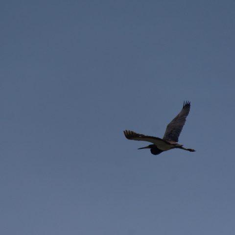 Egretta, Oiseau, tricolor-2