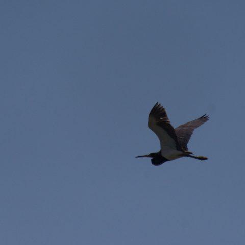Egretta, Oiseau, tricolor